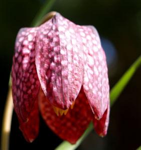 Schachbrettblume Bleute purpur Fritillaria meleagris 04