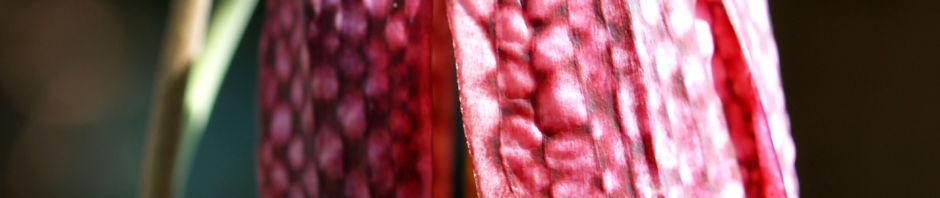 schachbrettblume-bluete-purpur-fritillaria-meleagris