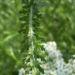 Zurück zum kompletten Bilderset Schafgarbe Blüte weiß Achillea setacea
