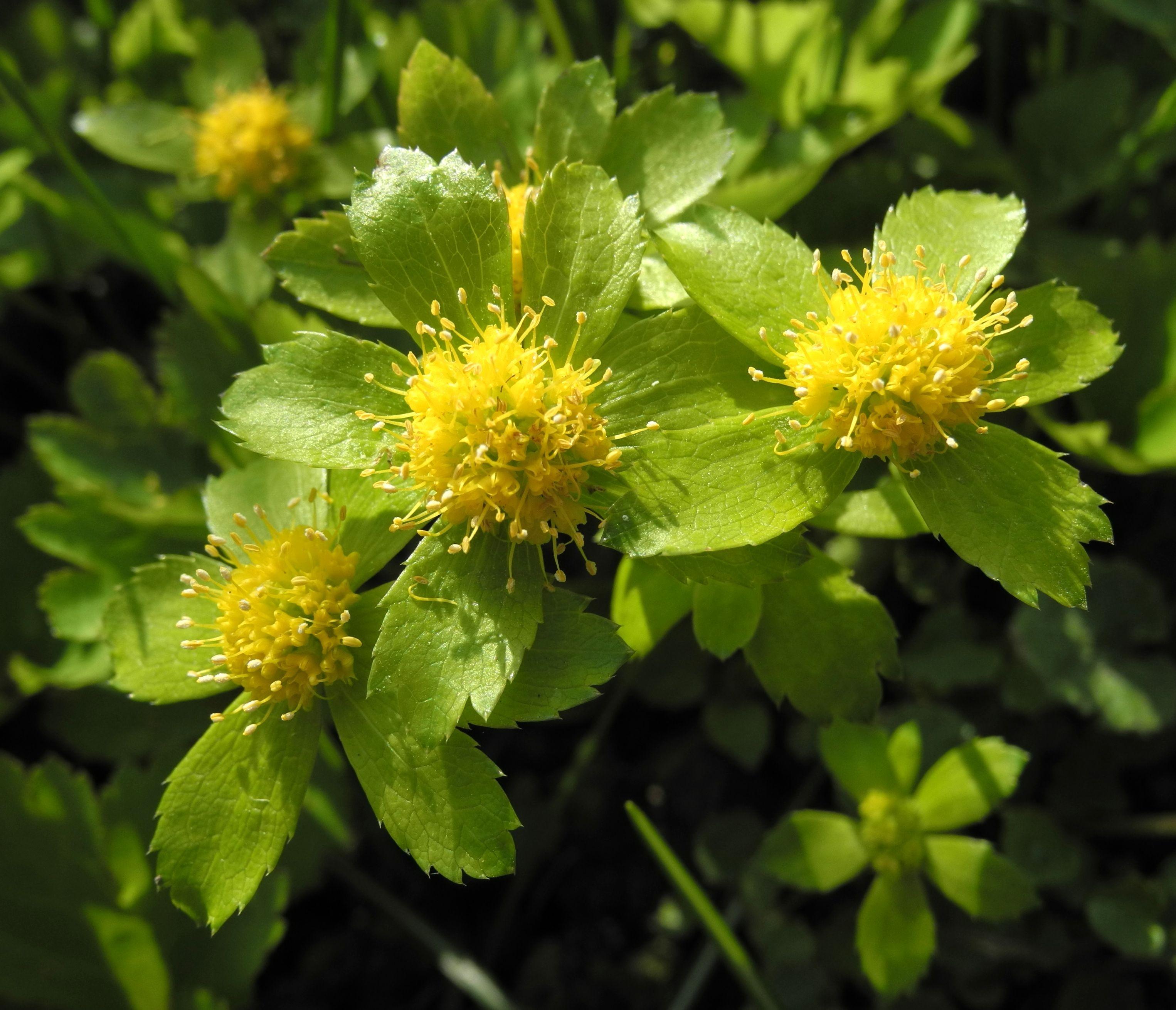 Zurück zum kompletten Bilderset Schaftdolde Blüte gelb Hacquetia epipactis