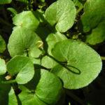 Scharbockskraut Blatt gruen Ficaria verna 02