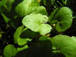 Scharbockskraut Blatt gruen Ficaria verna 03