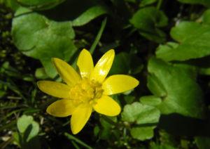 Scharbockskraut Bluete gelb Ficaria verna 01