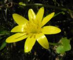 Scharbockskraut Bluete gelb Ficaria verna 03