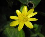 Bild: Scharbockskraut Blüte gelb Ficaria verna