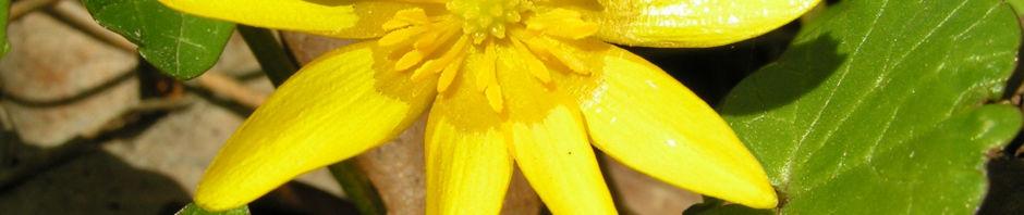 scharbockskraut-bluete-gelb-ranunculus-ficaria
