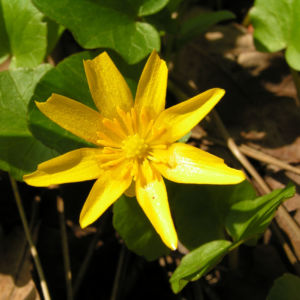 Scharbockskraut Bluete gelb Ranunculus ficaria 04