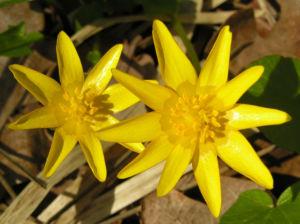 Scharbockskraut Bluete gelb Ranunculus ficaria 06