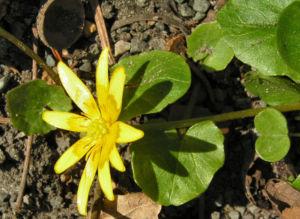 Scharbockskraut Bluete gelb Ranunculus ficaria 07