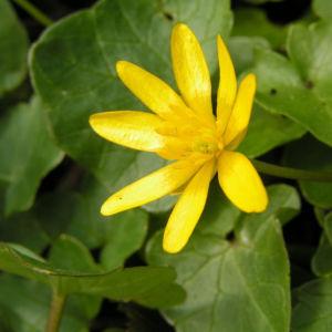 Scharbockskraut Bluete gelb Ranunculus ficaria 09
