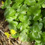 Scharbockskraut Bluete Ranunculus ficaria 00 1
