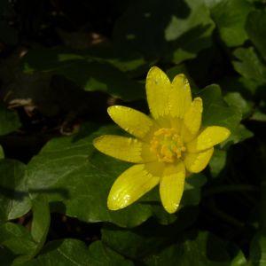 Scharbockskraut Bluete Ranunculus ficaria 01