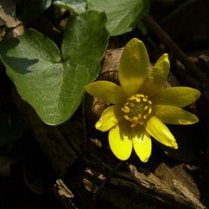 Scharbockskraut Bluete Ranunculus ficaria 04