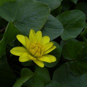 Scharbockskraut Bluete Ranunculus ficaria 06