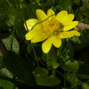 Scharbockskraut Bluete Ranunculus ficaria 12