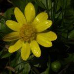 Scharbockskraut Bluete Ranunculus ficaria 13