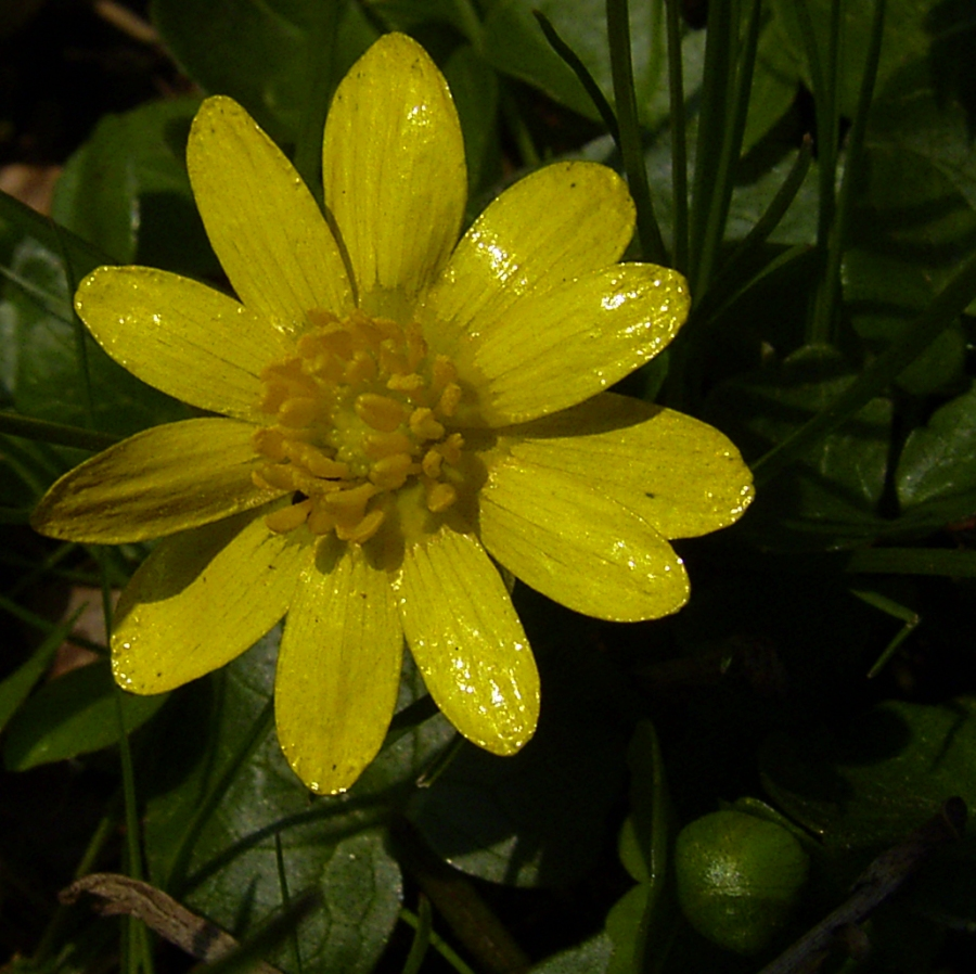 Scharbockskraut Bluete Ranunculus ficaria