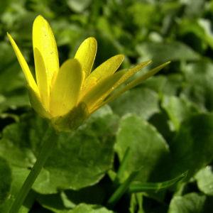 Scharbockskraut Ranunculus ficaria 02