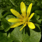 Scharbockskraut Ranunculus ficaria 03