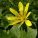 Zurück zum kompletten Bilderset Scharbockskraut Blüte gelb Ranunculus ficaria