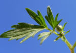 Scharfer Hahnenfuss Blatt gruen Ranunculus acris 24