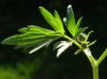 Scharfer Hahnenfuss Blatt gruen Ranunculus acris 25