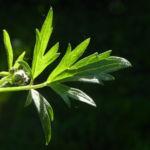 Scharfer Hahnenfuss Blatt gruen Ranunculus acris 26