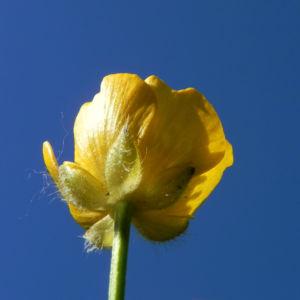 Scharfer Hahnenfuss Bluete gelb Ranunculus acris 27