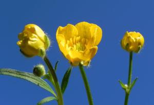 Scharfer Hahnenfuss Bluete gelb Ranunculus acris 30