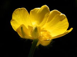 Scharfer Hahnenfuss Bluete gelb Ranunculus acris 39