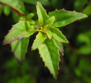 Scharlach Fuchsie Strauch Blatt gruen Fuchsia magellanica 01