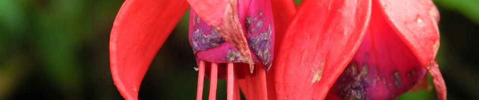 scharlach-fuchsie-strauch-bluete-rot-violett-fuchsia-magellanica
