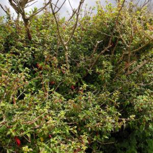 Scharlach Fuchsie Strauch Fuchsia magellanica 01