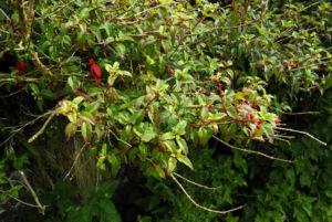 Scharlach Fuchsie Strauch Fuchsia magellanica 02