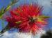 Zurück zum kompletten Bilderset Scharlachmyrte Busch Blüte rot Kunzea baxteri