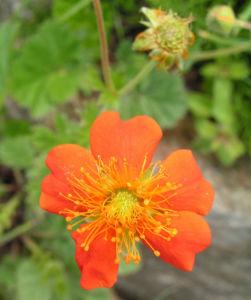 Scharlachrote Nelkenwurz Bluete orange Geum coccineum 01