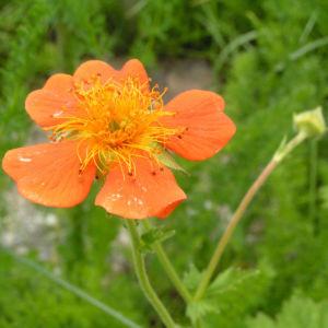 Scharlachrote Nelkenwurz Bluete orange Geum coccineum 02