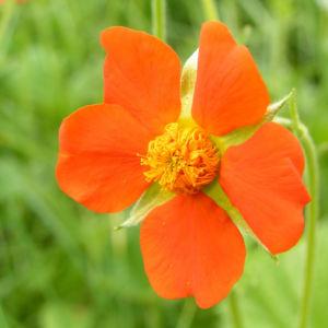 Bild: Scharlachrote Nelkenwurz Bluete orange Geum coccineum