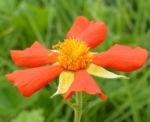 Bild: Scharlachrote Nelkenwurz Blüte orange Geum coccineum