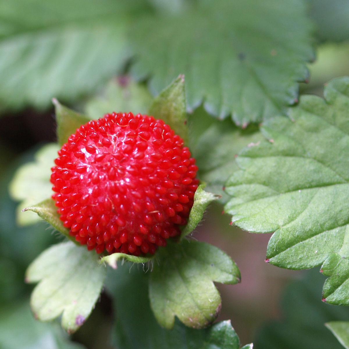 Schein Erdbeere Trug Erdbeere Frucht rot Bluete gelb Duchesnea indica
