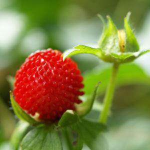 Schein Erdbeere Trug Erdbeere Frucht rot Bluete gelb Duchesnea indica 03