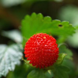 Schein Erdbeere Trug Erdbeere Frucht rot Bluete gelb Duchesnea indica 04