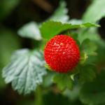 Schein Erdbeere Trug Erdbeere Frucht rot Bluete gelb Duchesnea indica 06