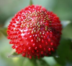 Schein Erdbeere Trug Erdbeere Frucht rot Bluete gelb Duchesnea indica 09