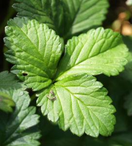 Schein Erdbeere Trug Erdbeere Frucht rot Bluete gelb Duchesnea indica 11