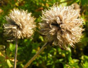 Scheinbaldrian Bluete pink Phuopsis stylosa 04