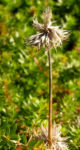 Scheinbaldrian Bluete pink Phuopsis stylosa 05