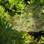 Scheinbaldrian Bluete pink Phuopsis stylosa 07