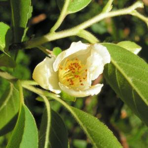 Scheinkamelie Baum Bluete weisslich Stewartia pseudo camellia 01