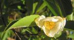 Scheinkamelie Baum Bluete weisslich Stewartia pseudo camellia 03